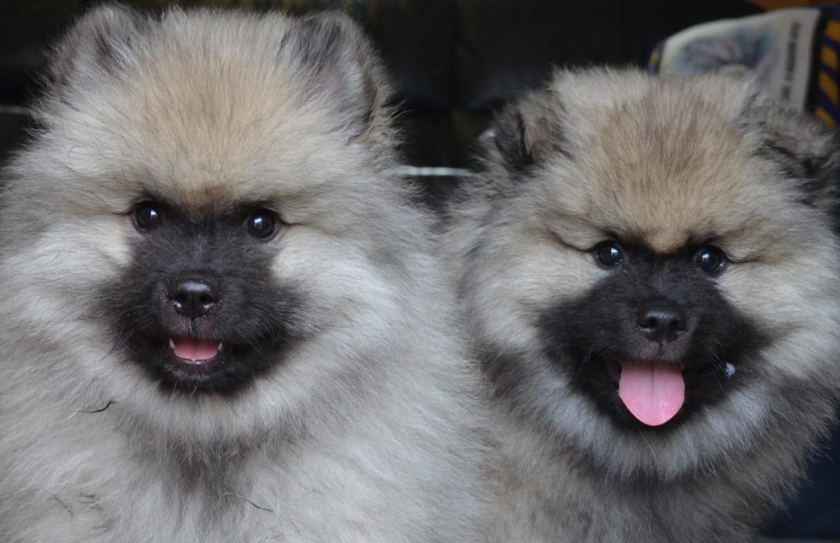 keeshound puppies 1
