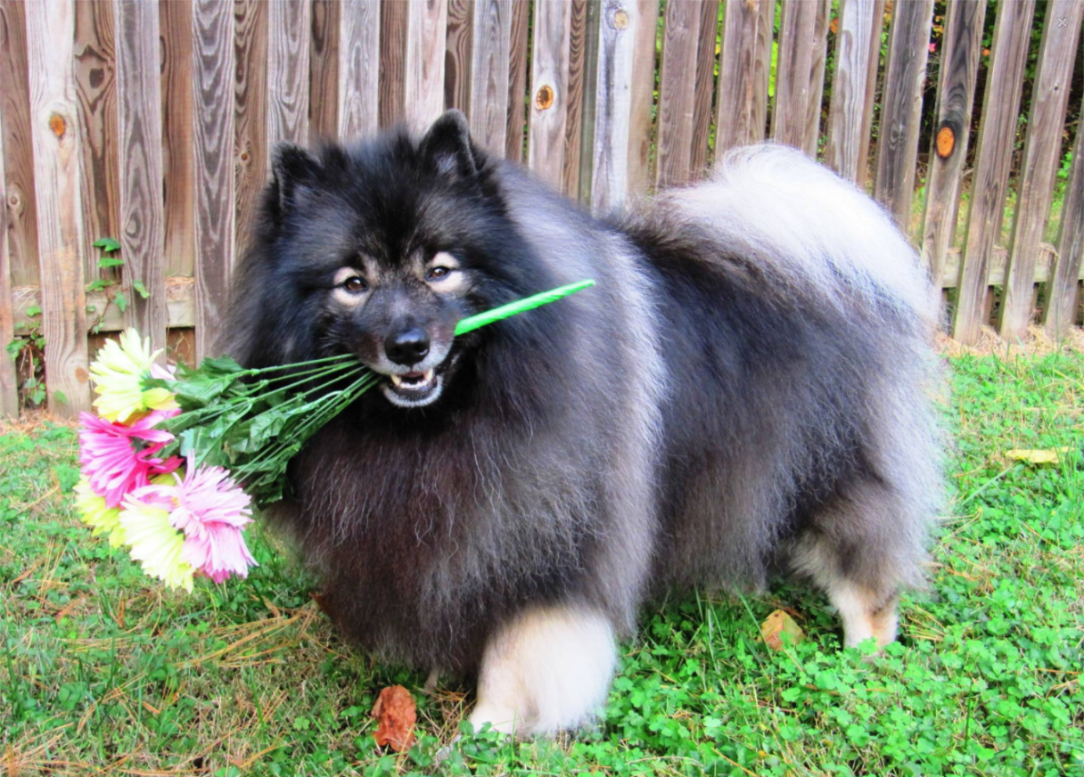 7 reasons why the keeshond totally owns the nickname the