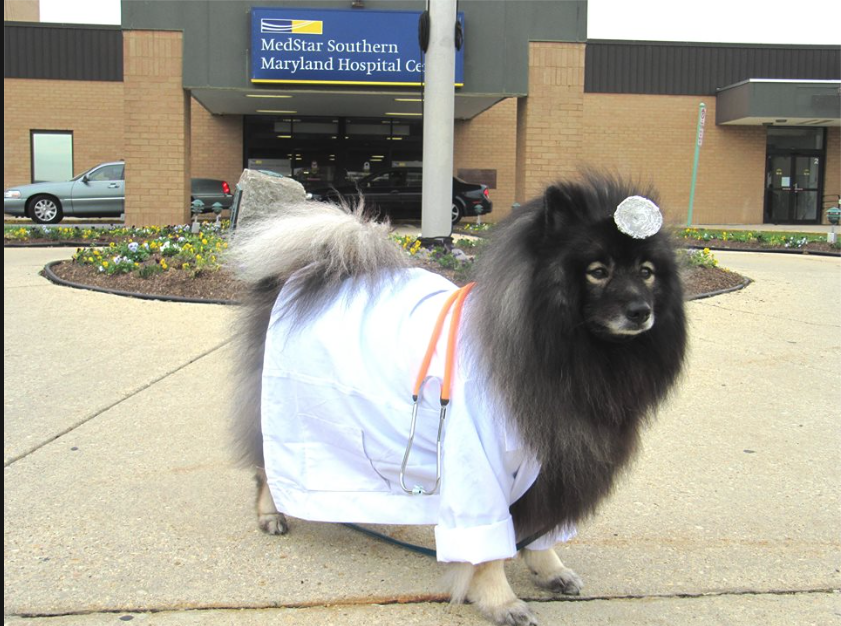 Keeshond dressed up