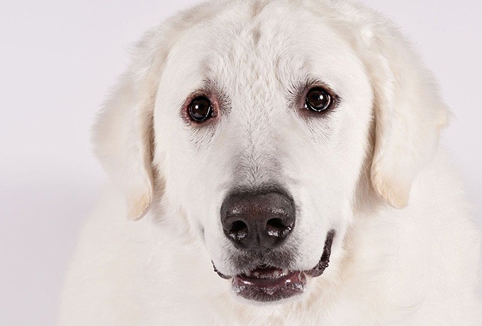 Kuvasz up-close