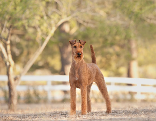 July - Lexi - Irish Terrier