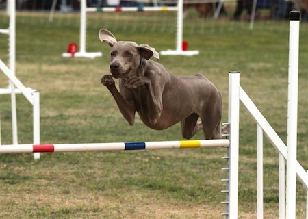 Labor Day Events Agility 1