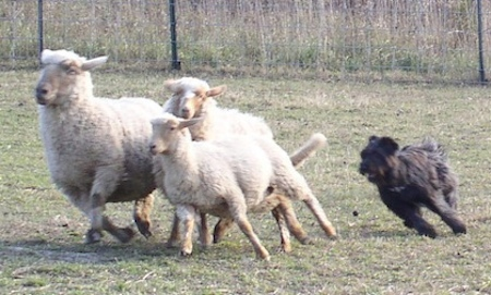 Herding Training For Dogs Northern California