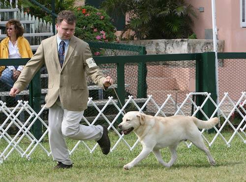 Labrador Movement show ring
