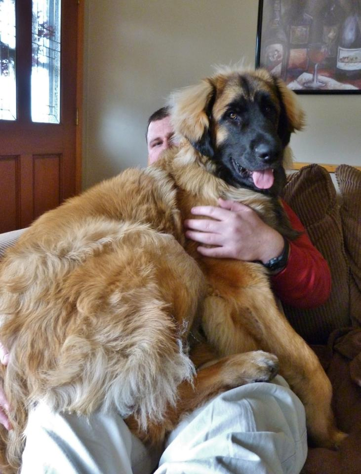 10 Things Only a Leonberger Owner Would Know – American ...