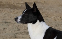 Meet the Canaan Dog: Magnum, One of the Breed's Greats