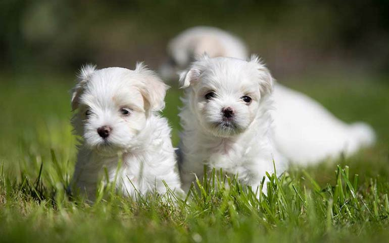 Shaggy or Supermodel: The Maltese Is One Breed With Two Very