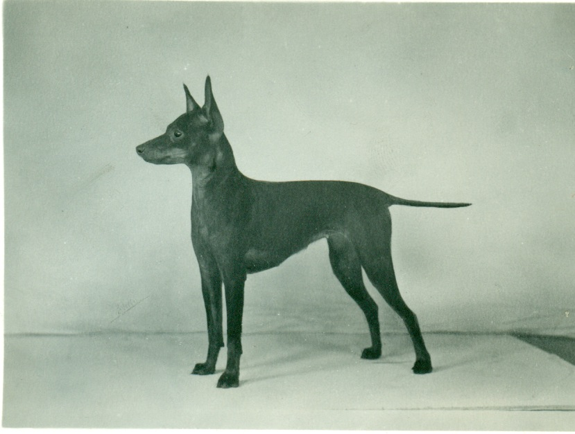 Manchester Terrier His...
