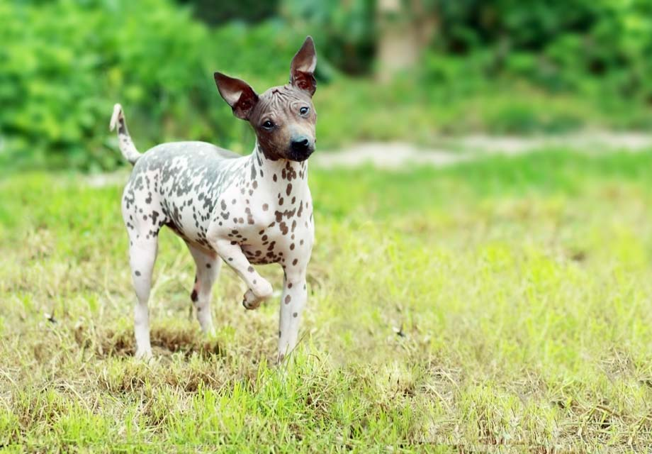 Small Hairless Dog Breeds