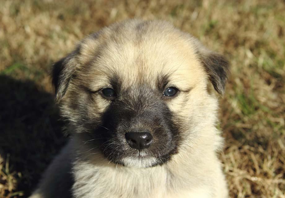 Anatolian Shepherd Dog Puppies For Sale Akc Puppyfinder