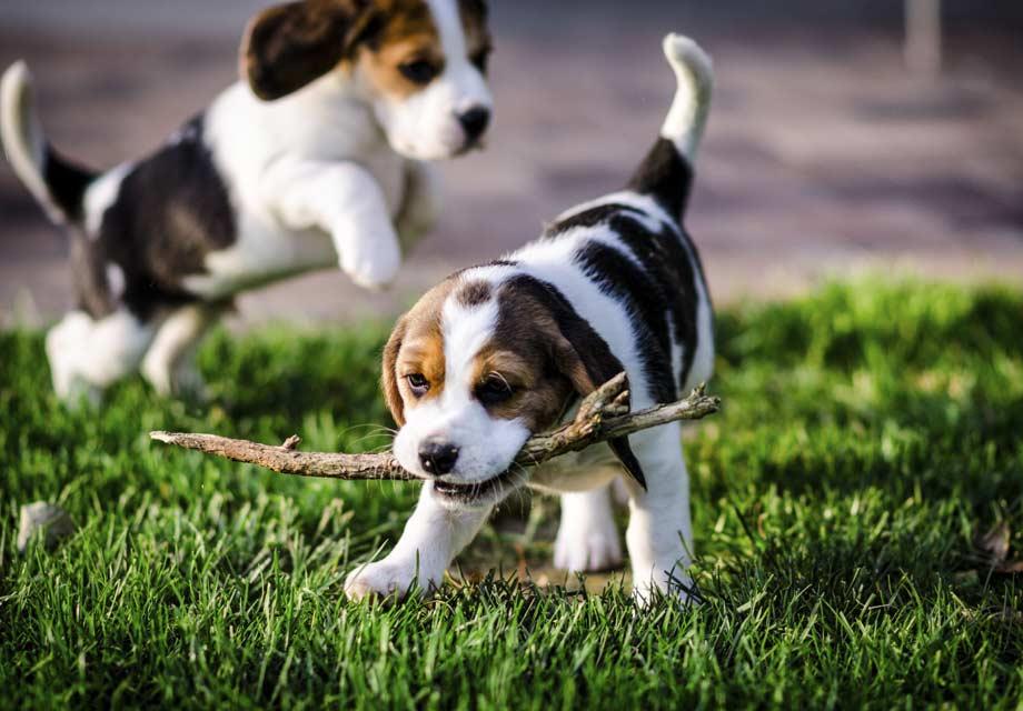 A Beagle Puppy Beagle Puppies ...