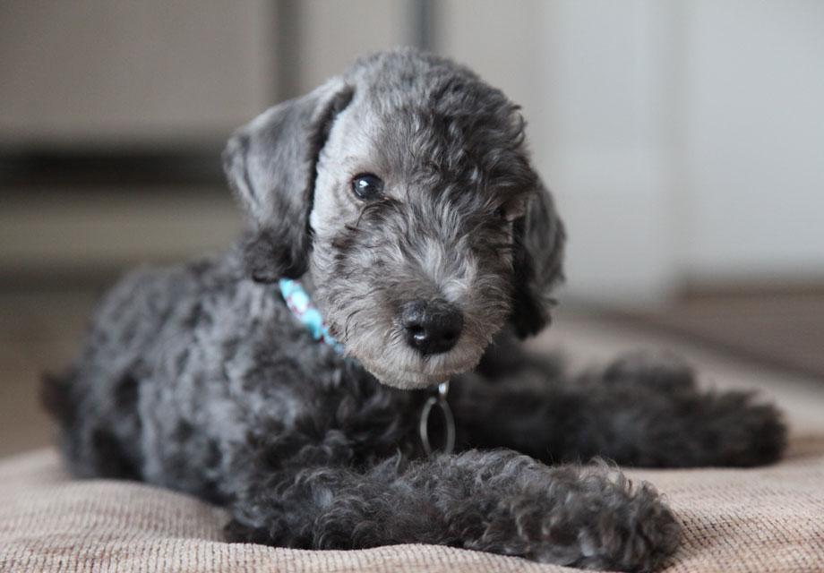 Bedlington Terrier Puppies For Sale Akc Puppyfinder