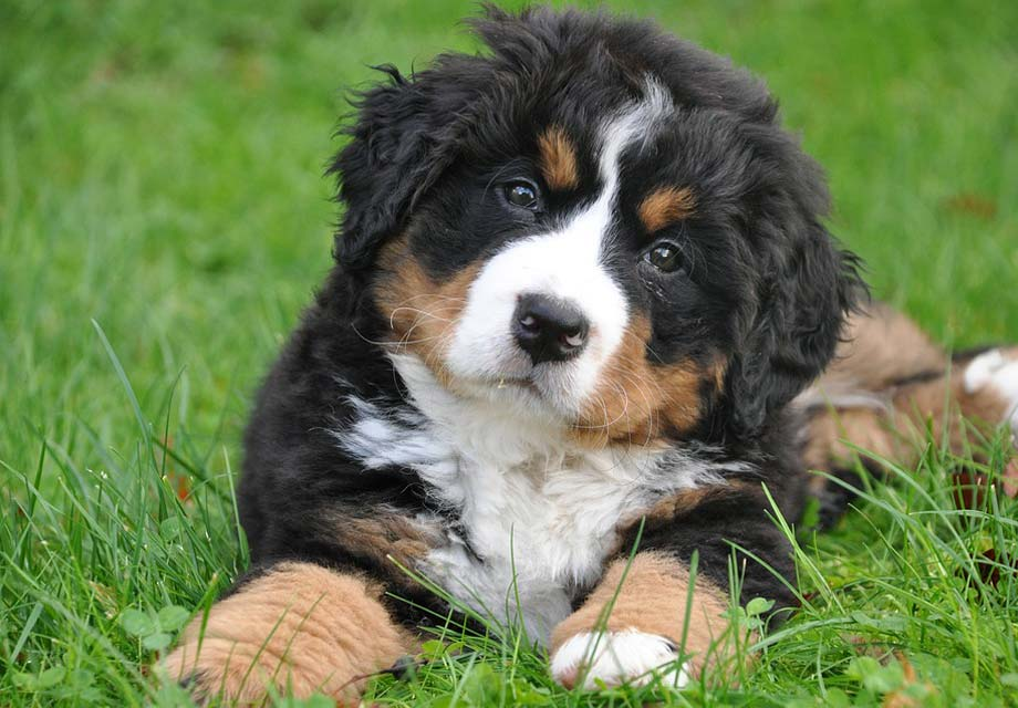 Bernese Mountain Dog Puppies For Sale - Page 2 - AKC ... Bernese Dog