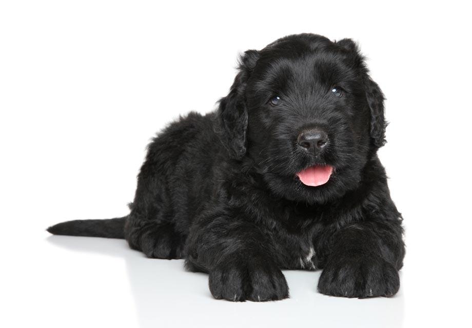 Black Russian Terrier Puppies For Sale - AKC PuppyFinder