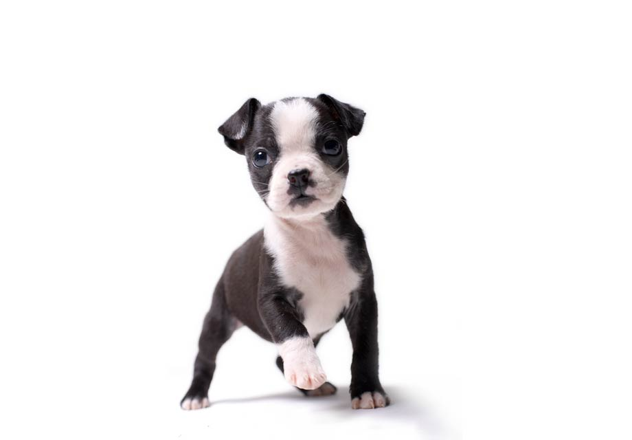 Boston terrier puppies wilmington de