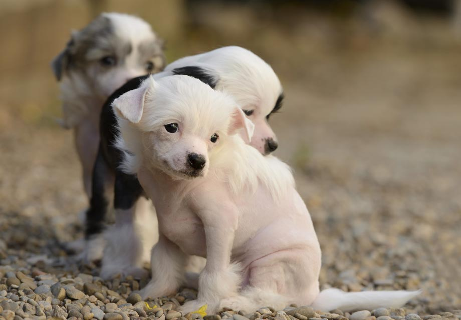 Chinese Crested Puppies For Sale - AKC PuppyFinder