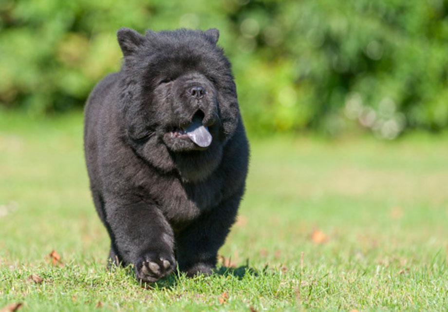 Chow chow for sale  Dogs amp Puppies for Sale  Gumtree