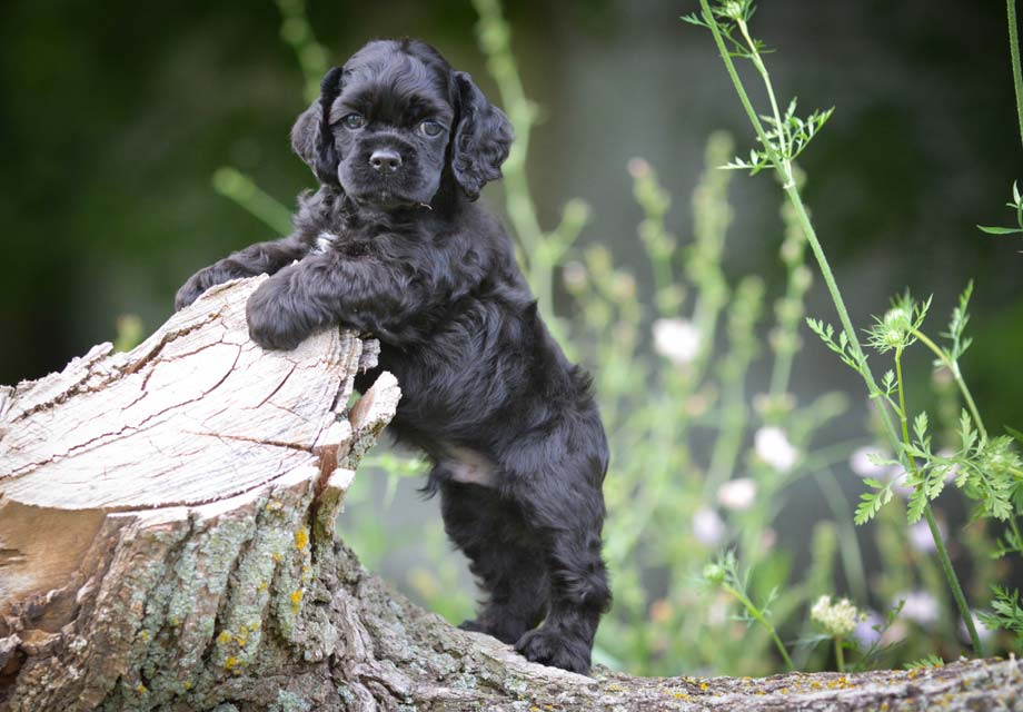Image Result For American Cocker Spaniel