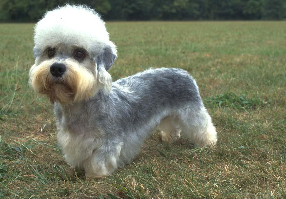 Dandie Dinmont Terrier Puppies For Sale Akc Puppyfinder