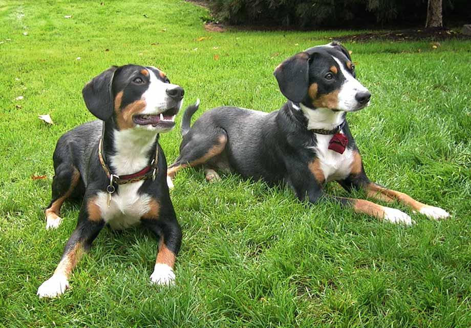 Entlebucher Mountain Dog Puppies For Sale In Colorado