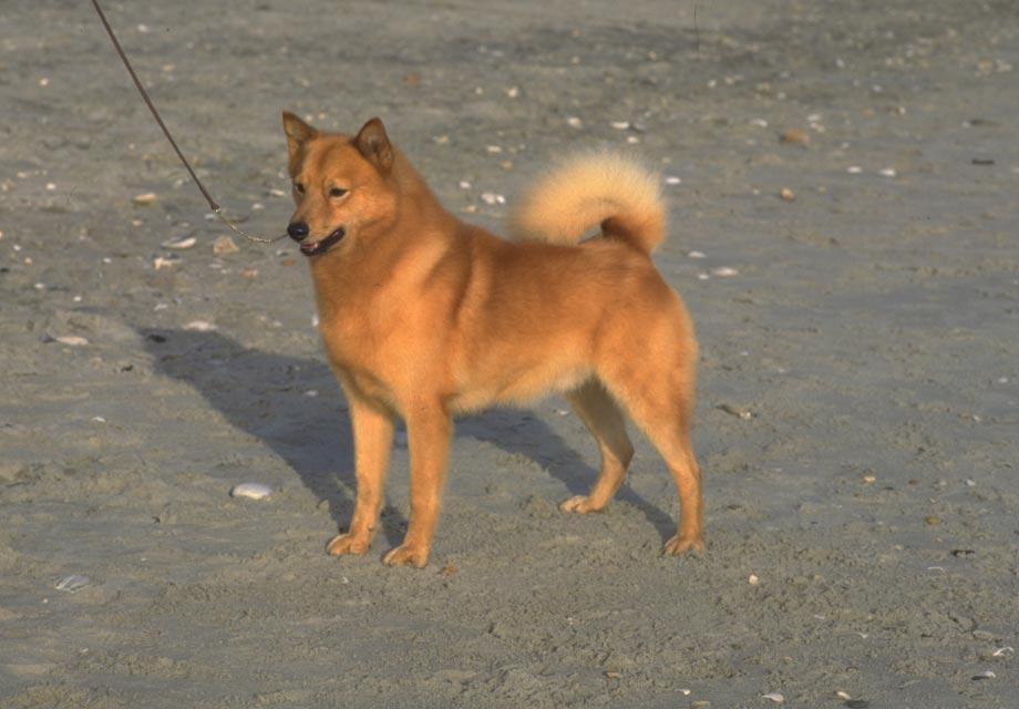 Finnish Spitz Puppies For Sale - AKC PuppyFinder