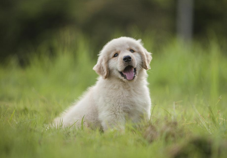 Bilderesultat for golden retriever puppy