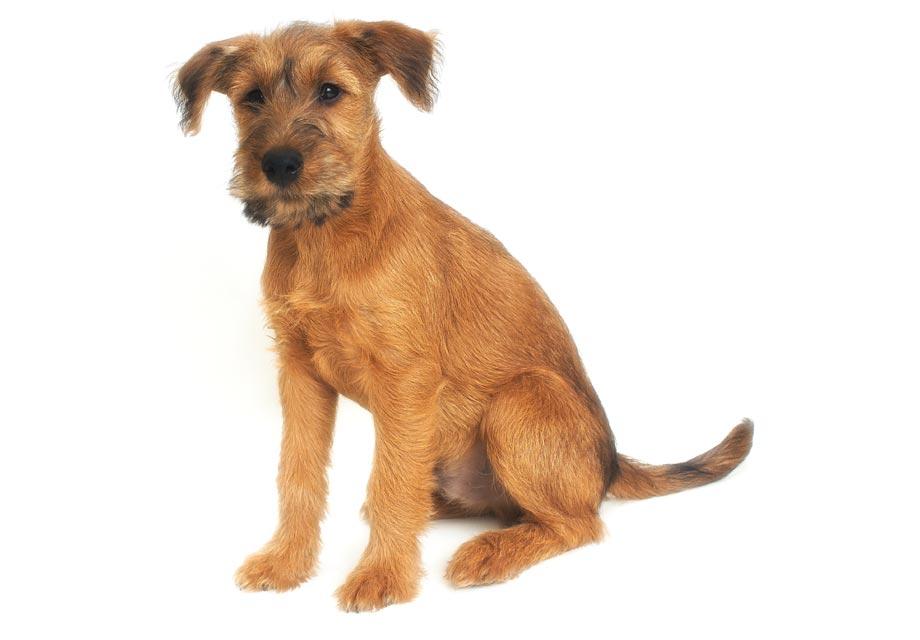 Irish Terrier Puppies For Sale - AKC PuppyFinder