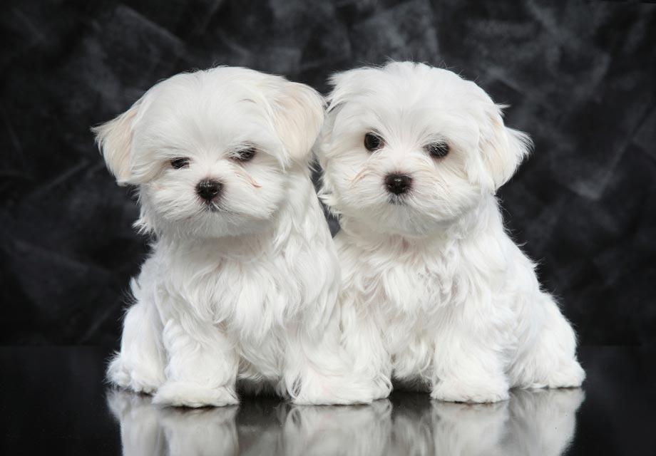 Maltese Dog Rescue In Kentucky
