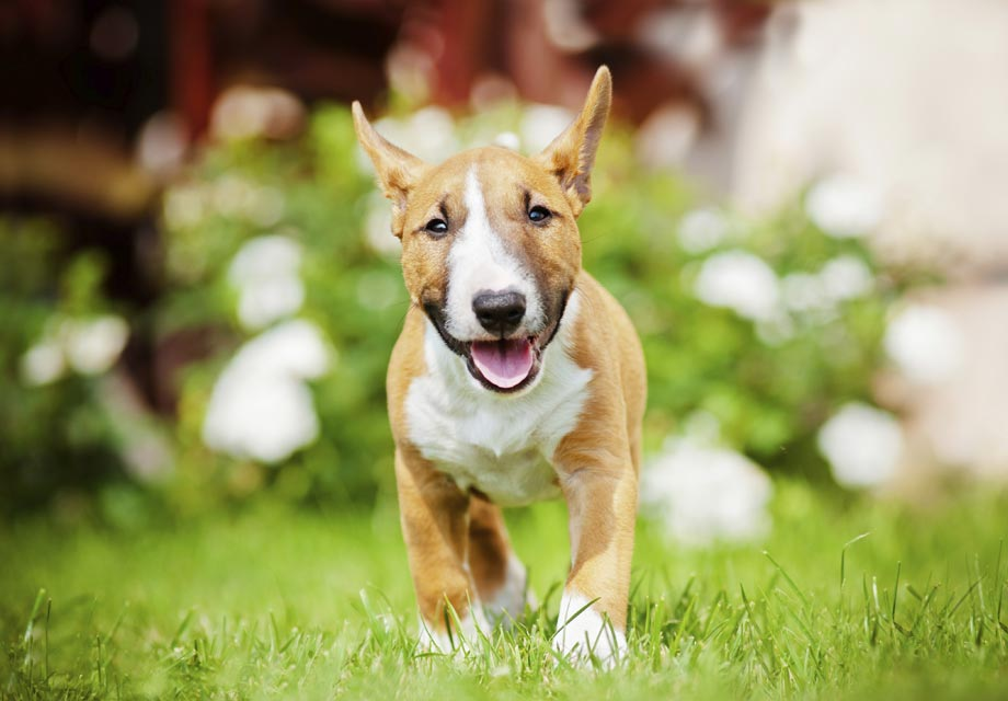 Miniature Bull Terrier Puppies For Sale - AKC PuppyFinder