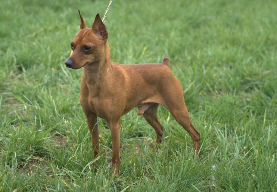 pin miniature pinscher pup - photo #34