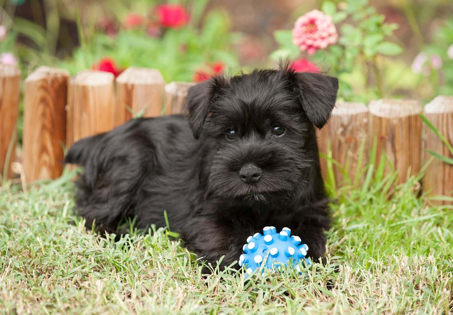 Miniature schnauzer breeders kentucky