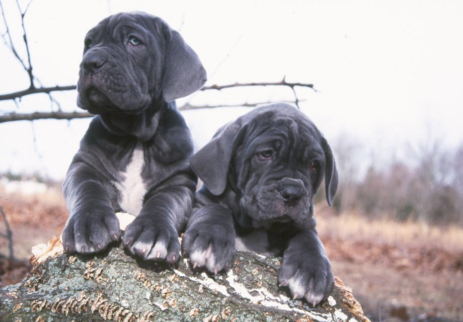 Pictures Of A Neapolitan Mastiff Dog