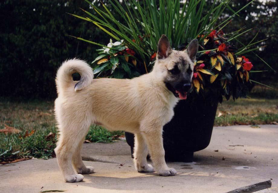 Norwegian Buhund Dog For Sale