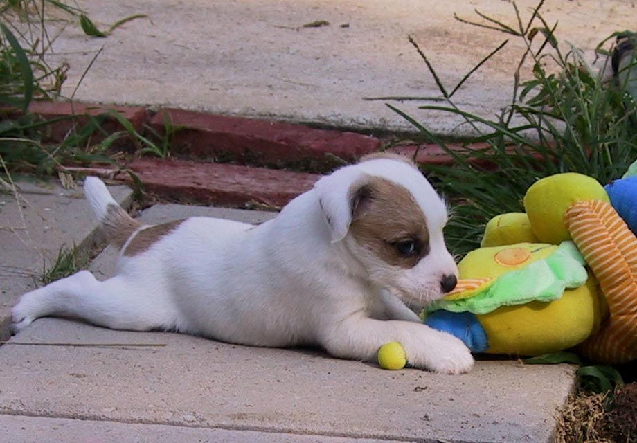 Parson Russell Terrier Puppies For Sale Akc Puppyfinder