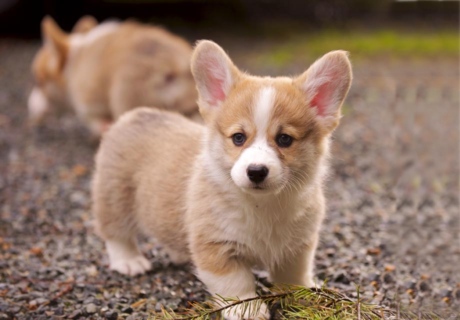 Pembroke Welsh Corgi Puppies For Sale - AKC PuppyFinder