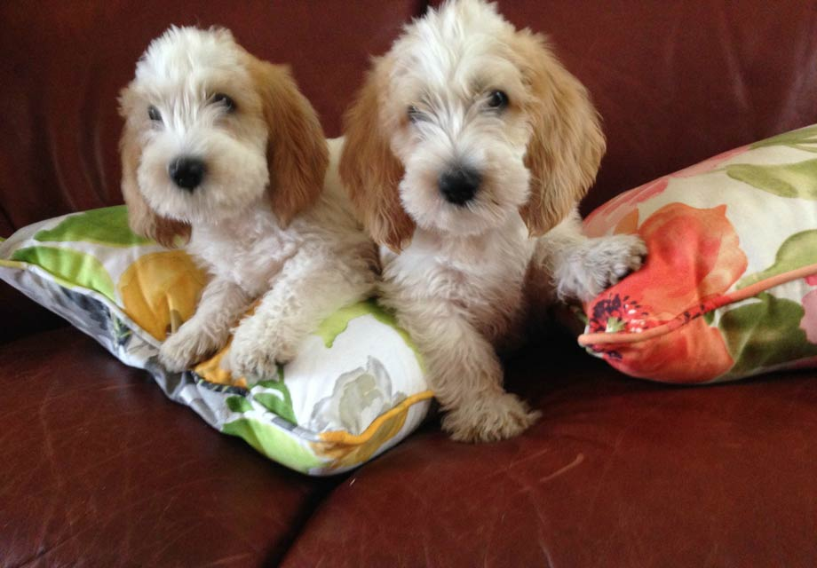 Petit basset griffon vendeen puppies for sale akc - Petit basset griffon vendeen breeders toulon ...