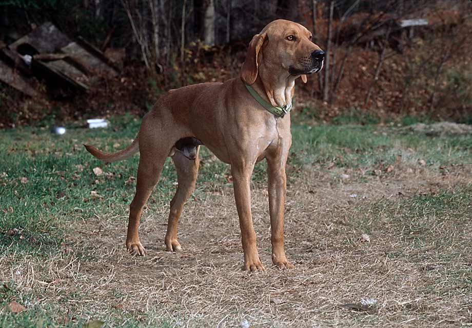 cute plott hound dog - photo #43