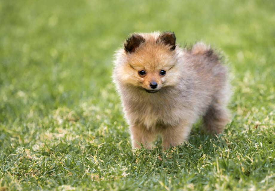 Cute Toy Dog Puppies