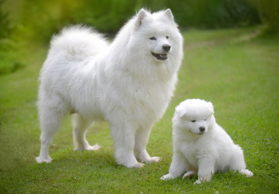 Siberian Samoyed Dogs For Sale