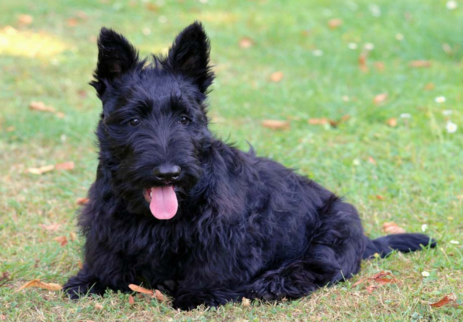 Pictures of scottish terrier puppies