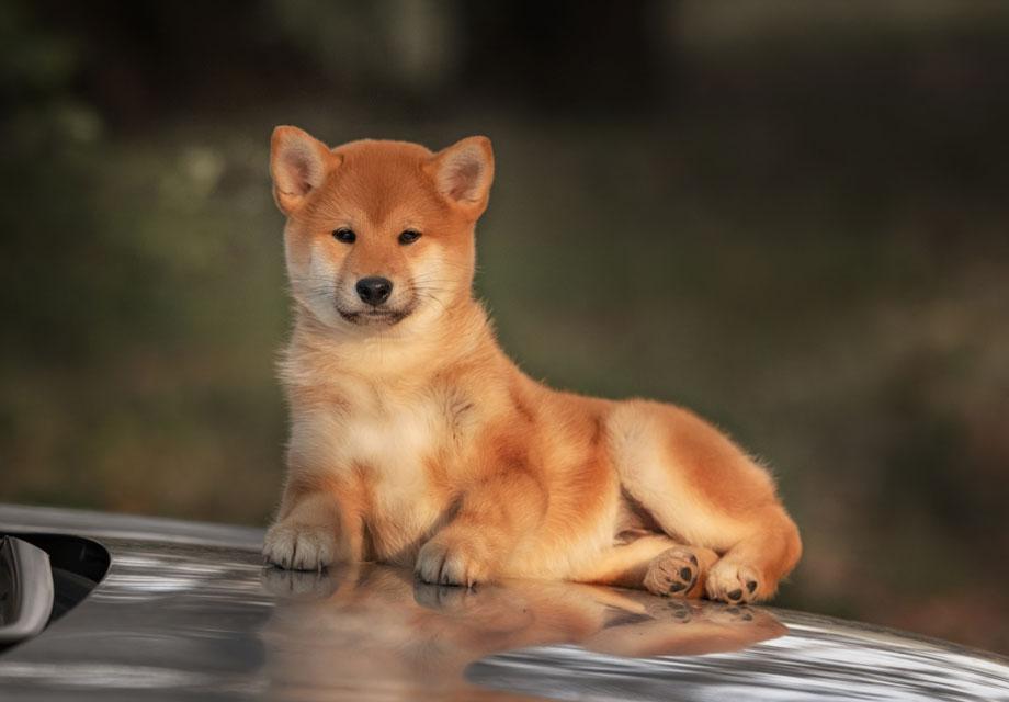 Shiba Inu Puppies For Sale - AKC PuppyFinder