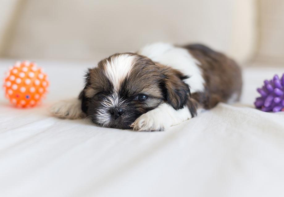 Dog Breeds Like Shih Tzu