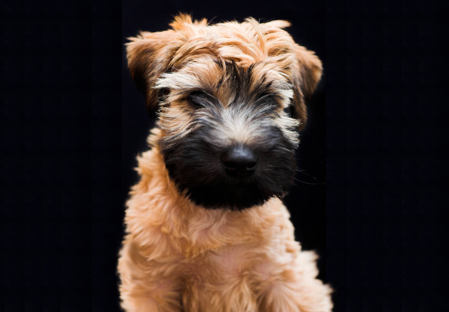 Soft Coated Wheaten Terrier Puppies For Sale Akc Puppyfinder