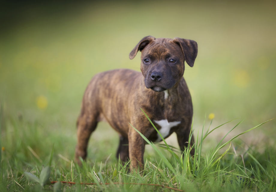 Staffordshire Bull Terrier Puppies For Sale - AKC PuppyFinder