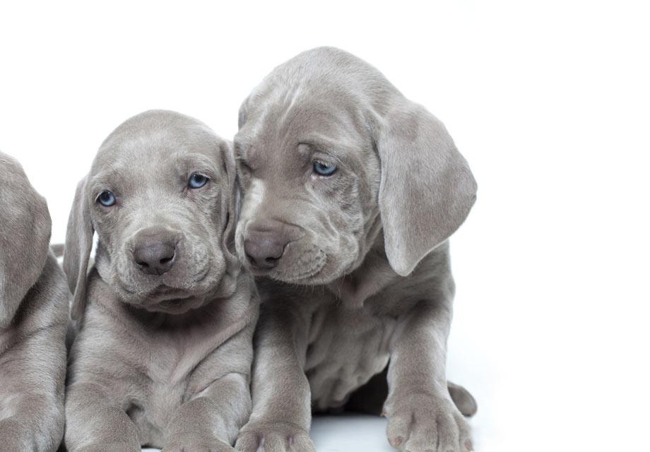 Weimaraner Puppies For Sale - AKC PuppyFinder