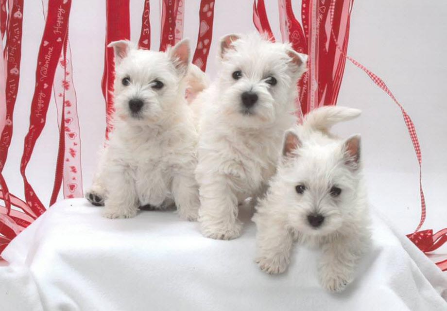 West Highland White Terrier Dogs For Sale