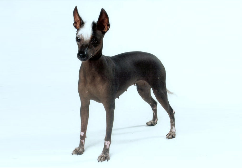 Xoloitzcuintli Training Mexican Hairless Dog P...