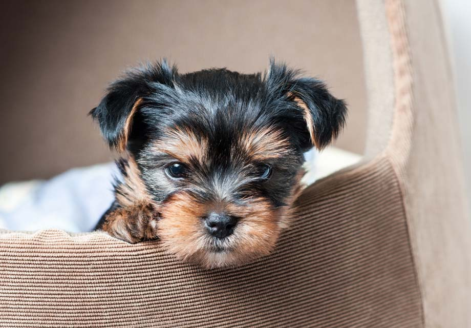 Yorkshire Terrier Puppies For Sale - AKC PuppyFinder