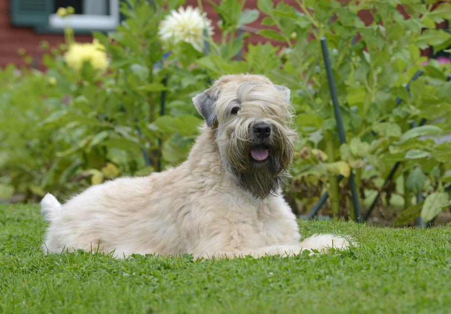 Soft Coated Wheaten Terrier Puppies For Sale - AKC PuppyFinder