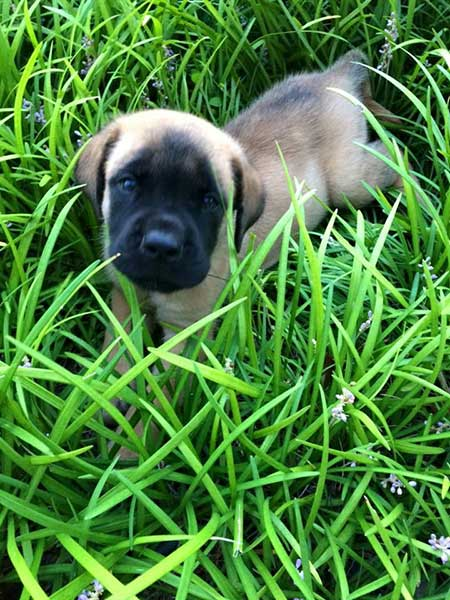 mastiff puppy in grass